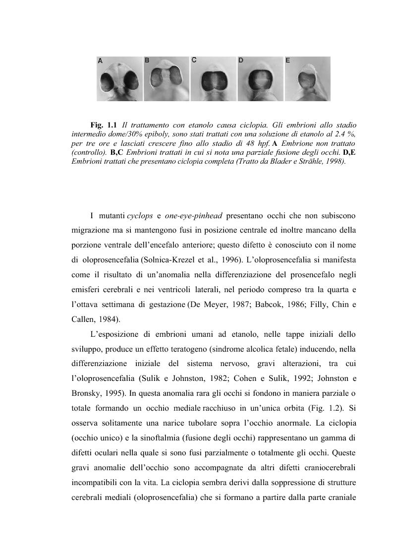 Anteprima della tesi: Il sistema visivo del Danio rerio come modello di studio per malattie congenite umane: induzione di ciclopia e studio immunoistochimico., Pagina 3