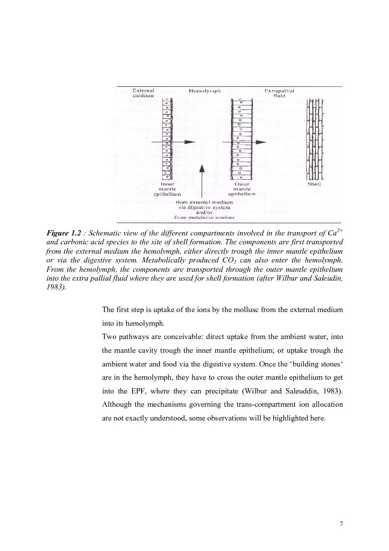 Anteprima della tesi: Do Marene Bivalves record Paleo-productivity?, Pagina 4