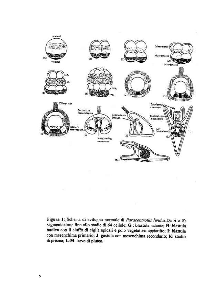 Anteprima della tesi: Ormesi e tossicità da agenti industriali e naturali:uno studio su tannini vegetali, Pagina 4