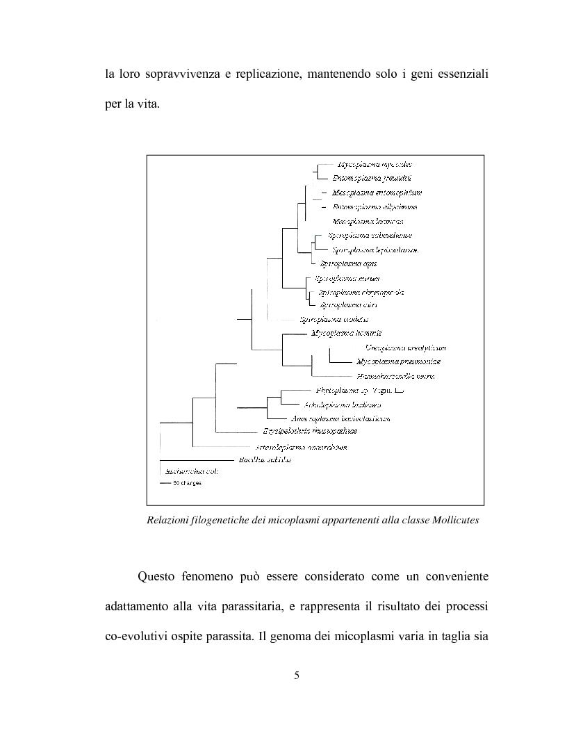 Anteprima della tesi: Uso delle mcs4 e lppa PCRs per la differenziazione molecolare di Mycoplasma capricolum subsp. capricolum e Mycoplasma mycoides subsp. mycoides LC, Pagina 3