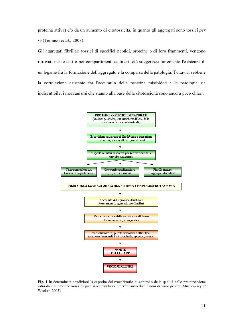 Anteprima della tesi: Studi di citossicità del peptide beta-amiloide (1-40), implicato nel morbo di Alzheimer, su protisti utilizzati come organismi modello, Pagina 5