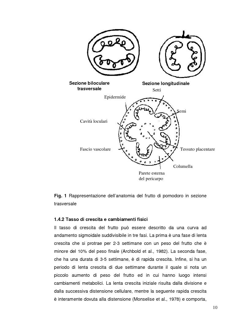 Anteprima della tesi: Pattern isoenzimatico e attività di perossidasi in frutti di pomodoro dela linea HP-1 maturati in presenza o assenza della radiazione UV-B, Pagina 9