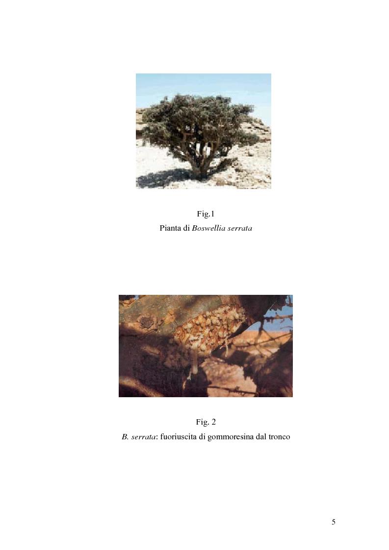 Anteprima della tesi: Effetto di un estratto di Boswellia serrata e di acido 3-o-acetil-11-cheto-beta-boswellico sulle metalloproteasi di matrice 2 e 9 di cheratinociti, Pagina 5