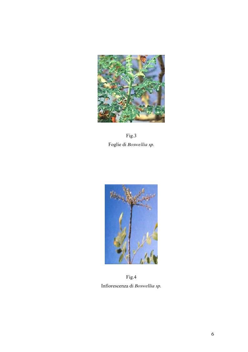 Anteprima della tesi: Effetto di un estratto di Boswellia serrata e di acido 3-o-acetil-11-cheto-beta-boswellico sulle metalloproteasi di matrice 2 e 9 di cheratinociti, Pagina 6