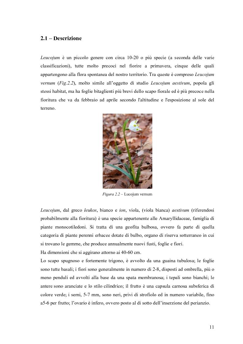 Anteprima della tesi: Dinamica di accrescimento di Leucojum aestivum L. in alcune sorgenti di terrazzo a Pavia, Pagina 11