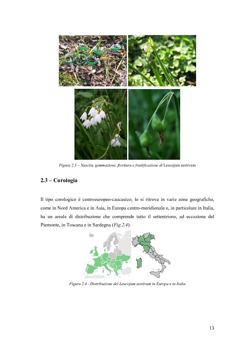 Anteprima della tesi: Dinamica di accrescimento di Leucojum aestivum L. in alcune sorgenti di terrazzo a Pavia, Pagina 13
