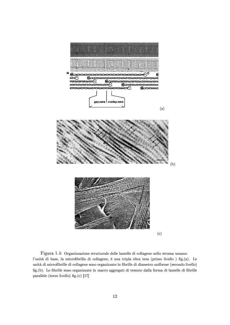 Anteprima della tesi: Un modello numerico per il comportamento meccanico della cornea affetta da cheratocono, Pagina 8