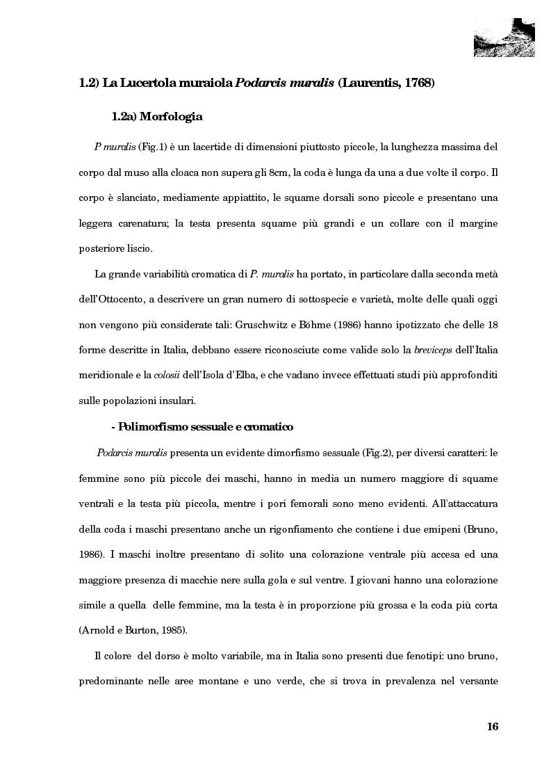 Anteprima della tesi: Studio della segregazione spaziale in un sauro polimorfico, Pagina 7