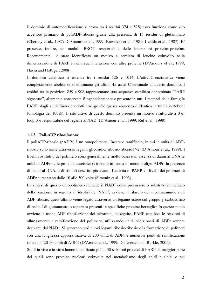 Anteprima della tesi: Meccanismi di immuno-regolazione: PARP-1 svolge ruoli opposti nel differenziamento delle cellule Th2 e T regolatorie, Pagina 3