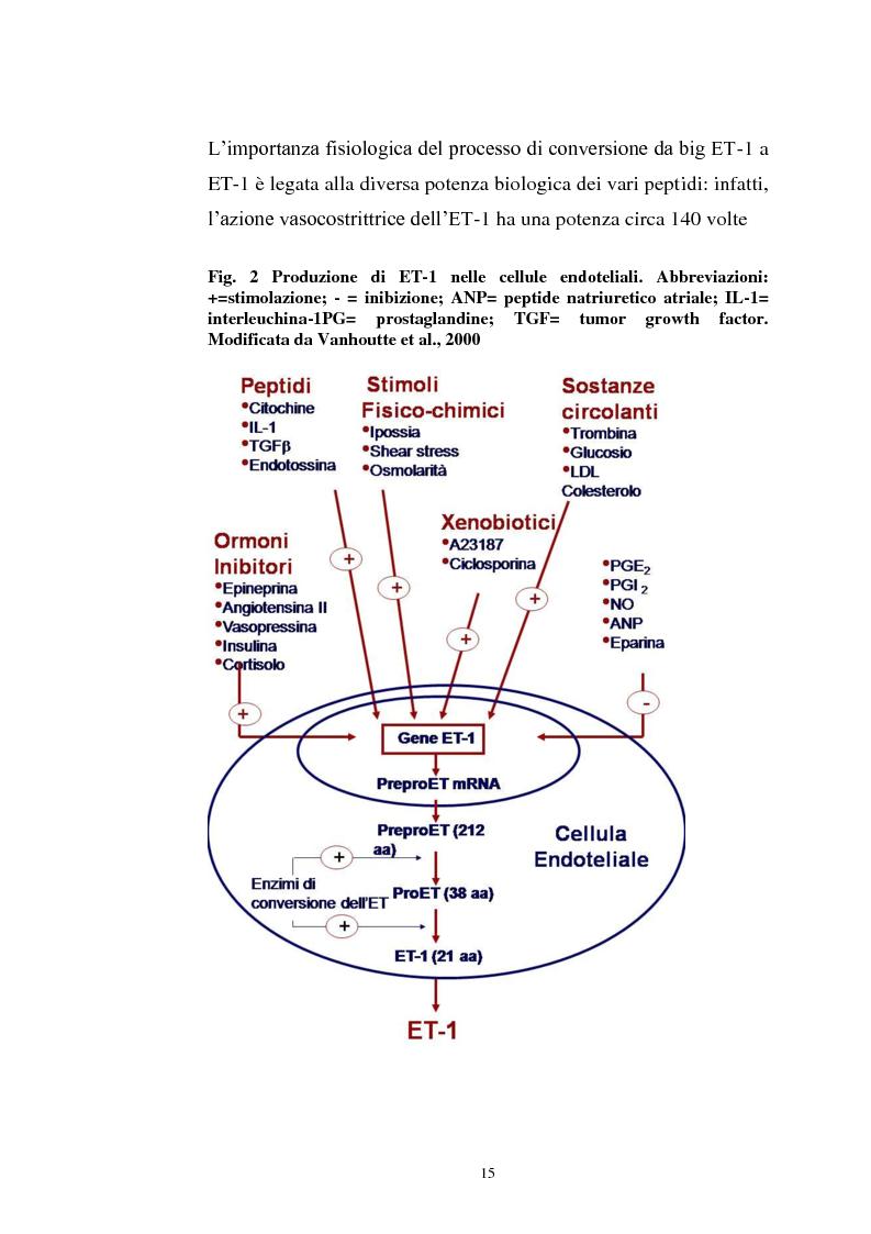 Anteprima della tesi: Endotelina e invecchiamento: caratterizzazione dei recettori cardiaci dell'endotelina in funzione dell'età in un modello sperimentale animale, Pagina 7