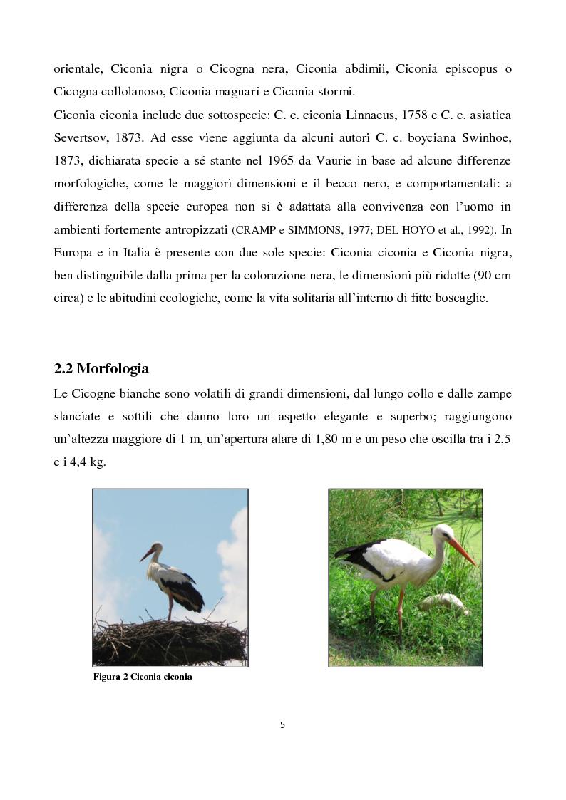 Anteprima della tesi: Migrazione della Cicogna bianca (Ciconia ciconia, Linnaeus 1758) e nidificazione in Italia, Pagina 4
