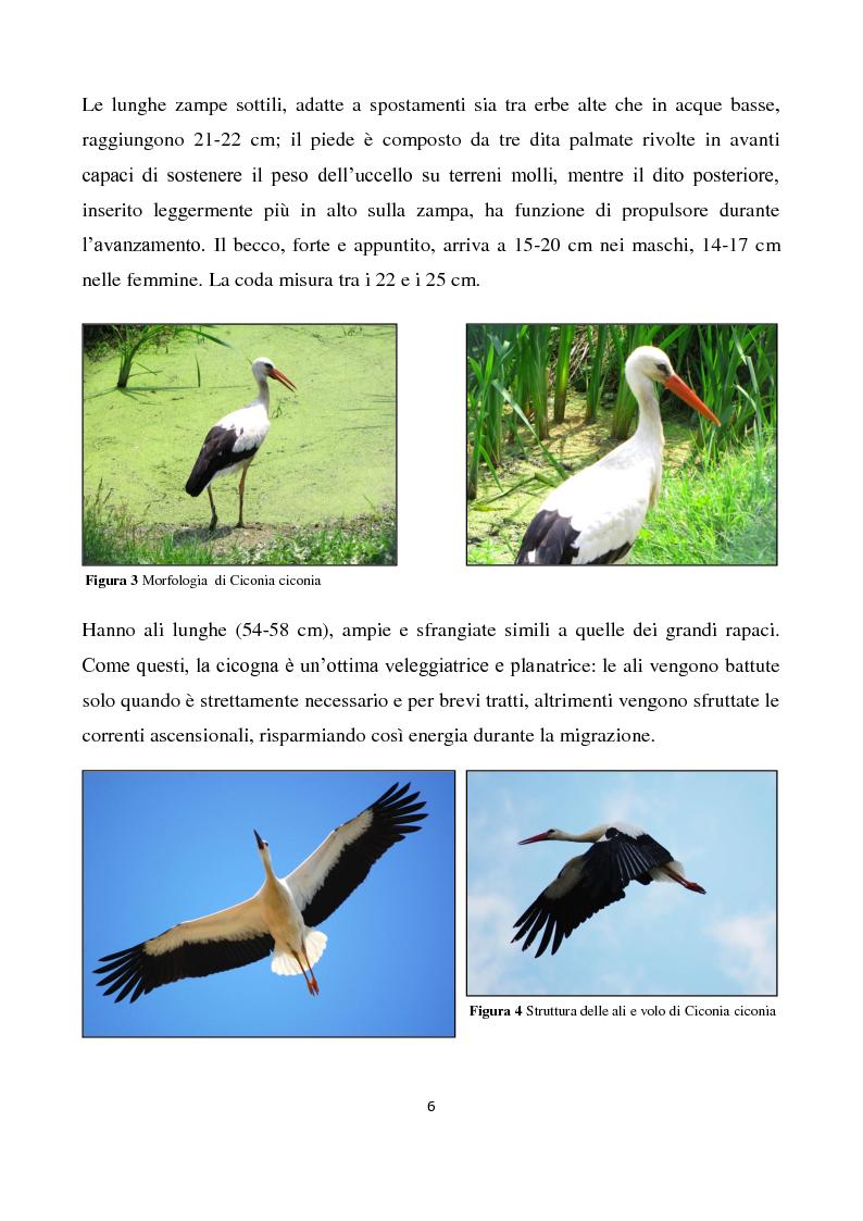 Anteprima della tesi: Migrazione della Cicogna bianca (Ciconia ciconia, Linnaeus 1758) e nidificazione in Italia, Pagina 5