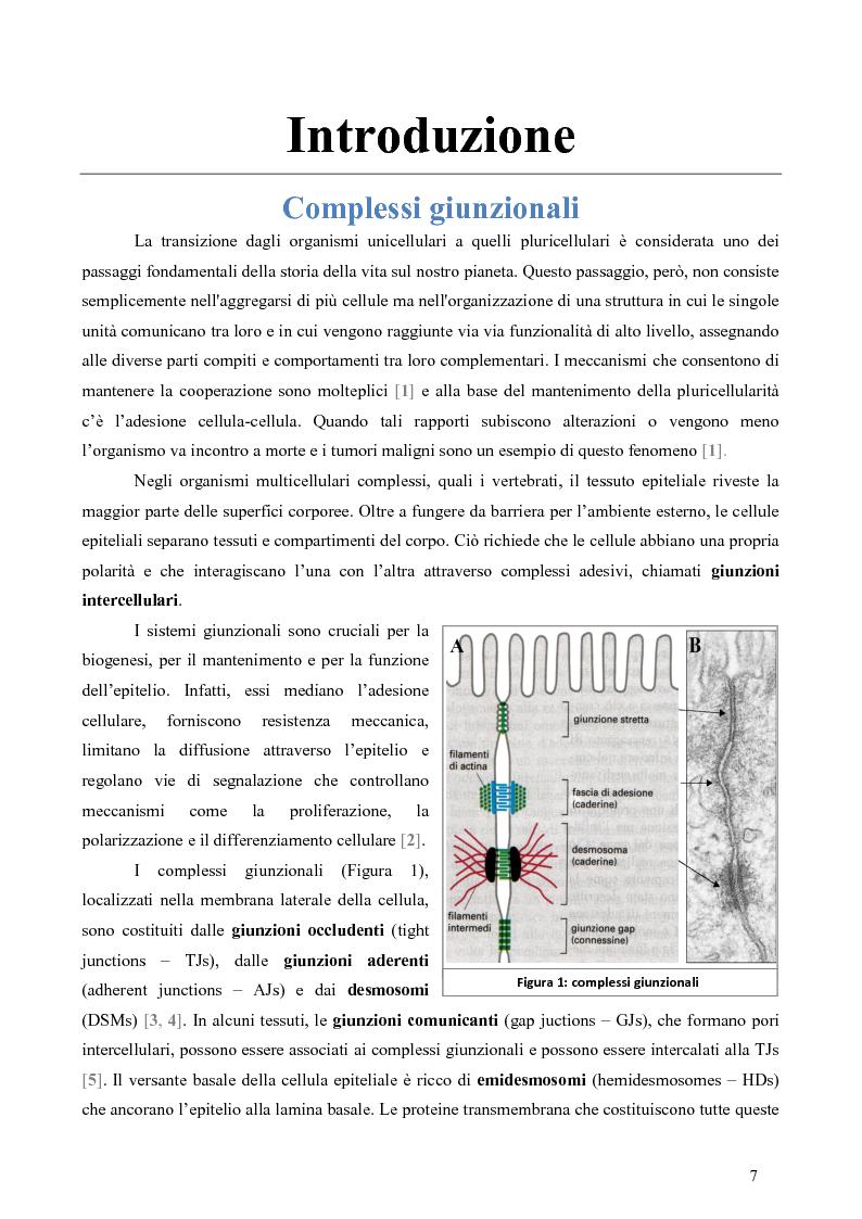 Anteprima della tesi: Studio dell'Interattoma della Proteina PAR-6 in Cellule di Carcinoma Mammario della linea 8701-BC, Pagina 3