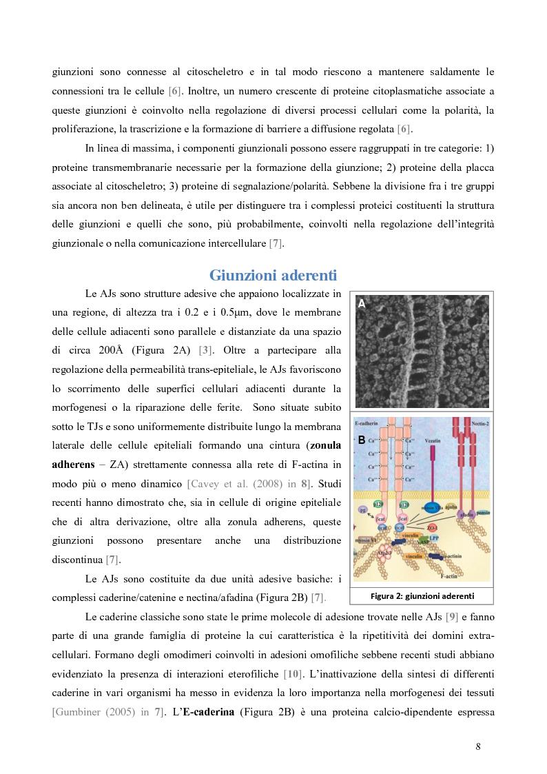 Anteprima della tesi: Studio dell'Interattoma della Proteina PAR-6 in Cellule di Carcinoma Mammario della linea 8701-BC, Pagina 4