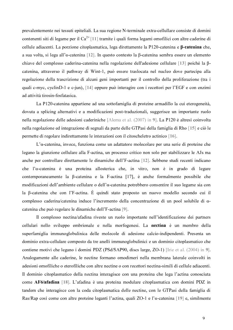 Anteprima della tesi: Studio dell'Interattoma della Proteina PAR-6 in Cellule di Carcinoma Mammario della linea 8701-BC, Pagina 5