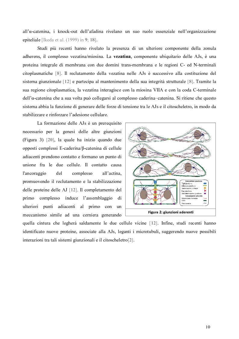 Anteprima della tesi: Studio dell'Interattoma della Proteina PAR-6 in Cellule di Carcinoma Mammario della linea 8701-BC, Pagina 6