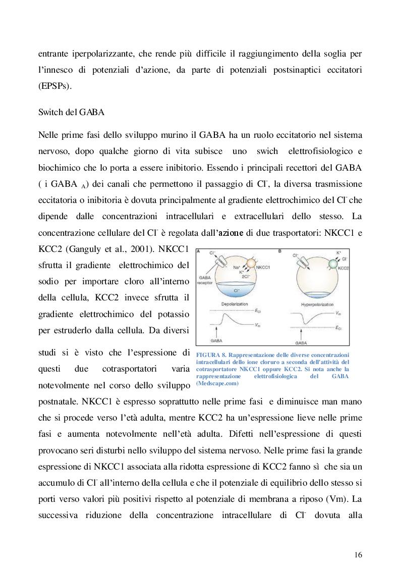 Estratto dalla tesi: Studio dell'espressione dei trasportatori kcc2 e nkcc1 durante lo sviluppo nel talamo murino