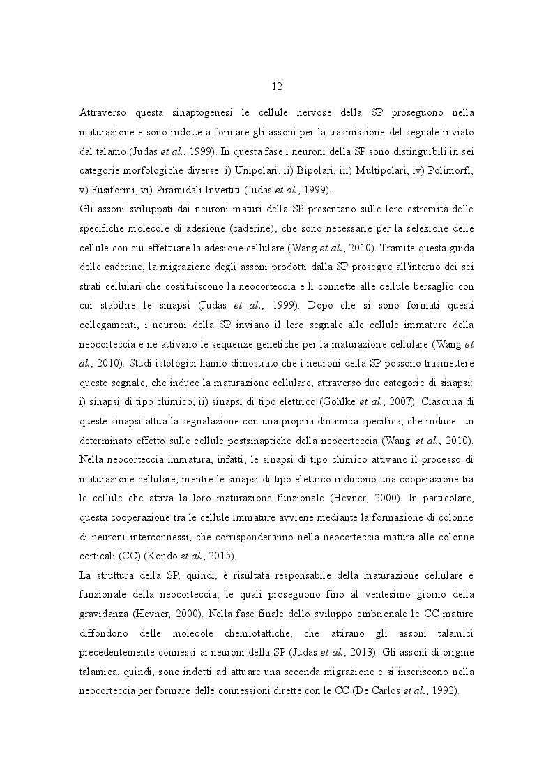 Estratto dalla tesi: Sviluppo e Differenziamento della Piastra Sottocorticale