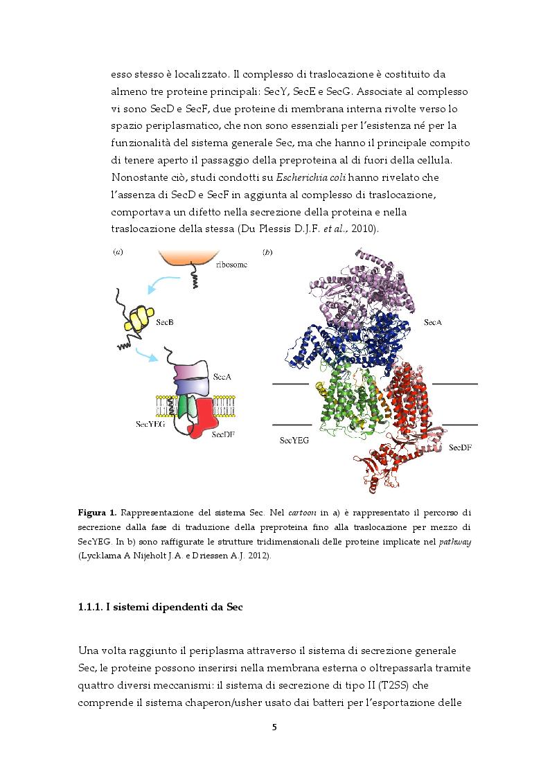 Anteprima della tesi: Il sistema di secrezione di tipo VI: un esempio di strategia evolutiva nel contesto della competizione tra popolazioni batteriche, Pagina 3