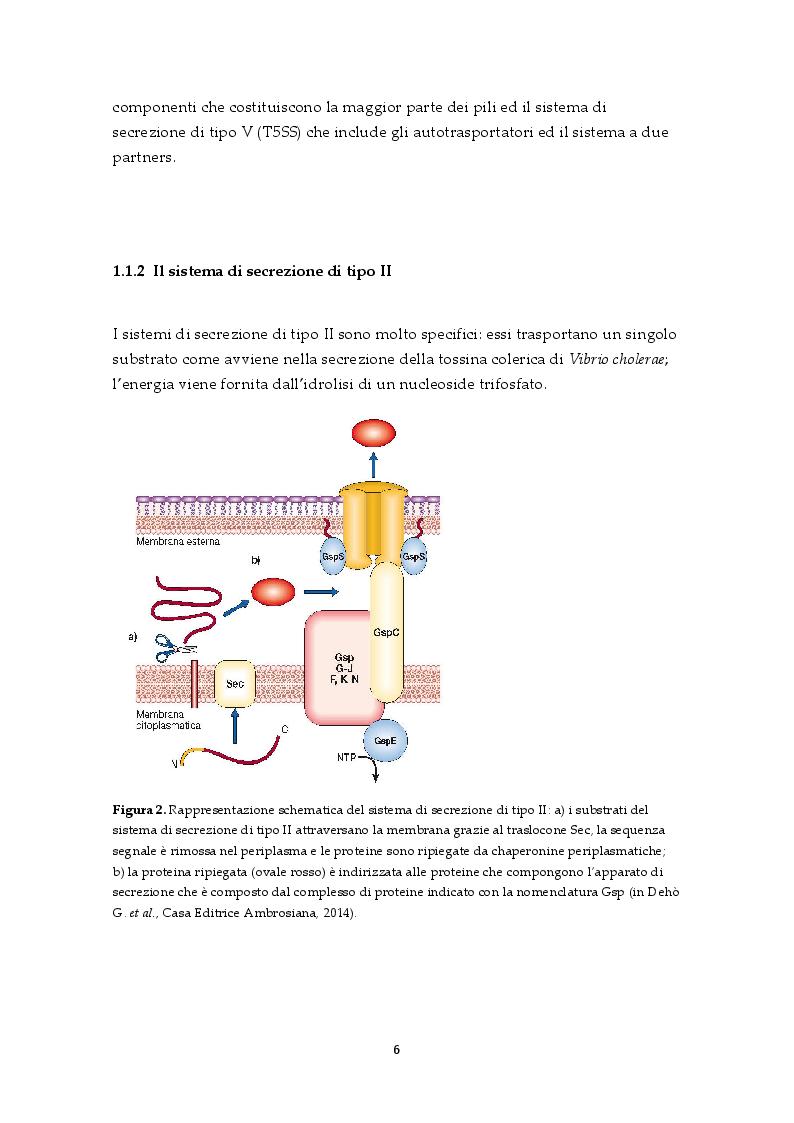 Anteprima della tesi: Il sistema di secrezione di tipo VI: un esempio di strategia evolutiva nel contesto della competizione tra popolazioni batteriche, Pagina 4
