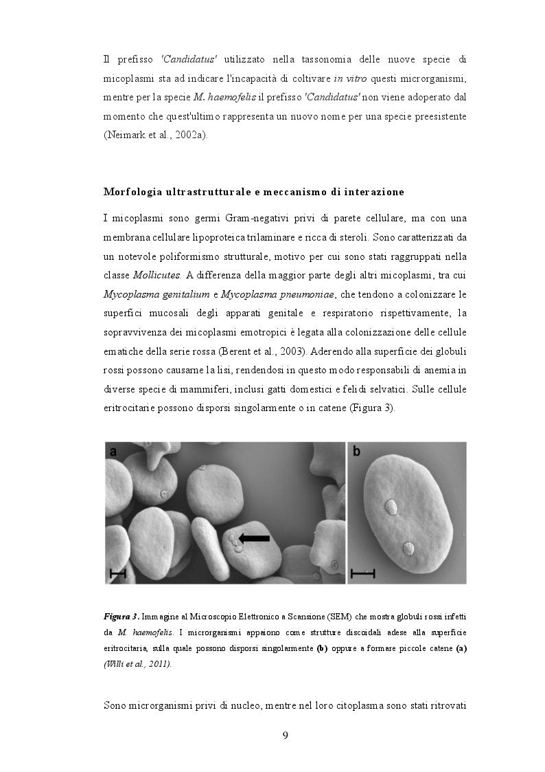 Estratto dalla tesi: Anemia infettiva felina: quale ruolo per Candidatus Mycoplasma turicensis?