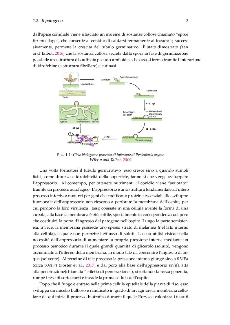 Anteprima della tesi: Procedure di inoculazione di Pyricularia oryzae su riso, Pagina 4