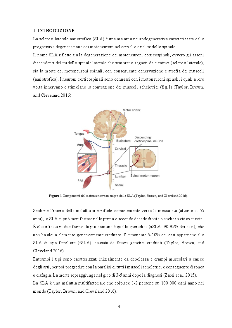 Anteprima della tesi: Le cellule staminali: una possibilità terapeutica per la sclerosi laterale amiotrofica, Pagina 2