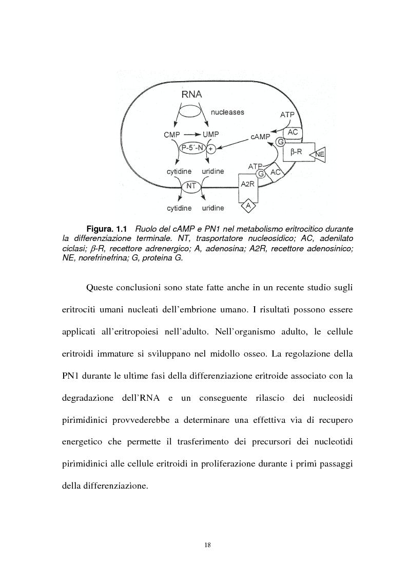 Anteprima della tesi: Pirimidina 5' nucleotidasi da eritrocita umano: clonaggio ed espressione del cdna, Pagina 14