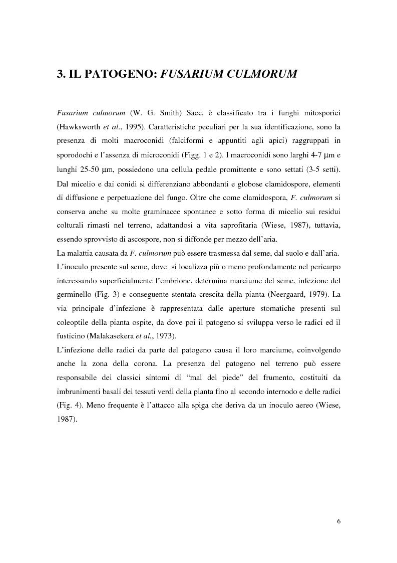 Anteprima della tesi: Aspetti dell'interazione di Gliocladium roseum e Trichoderma spp. con Fusarium culmorum e frumento, Pagina 6
