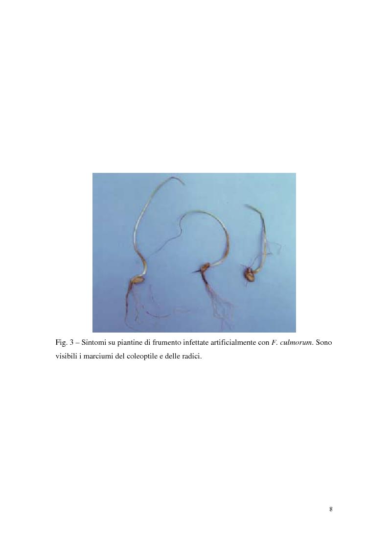 Anteprima della tesi: Aspetti dell'interazione di Gliocladium roseum e Trichoderma spp. con Fusarium culmorum e frumento, Pagina 8