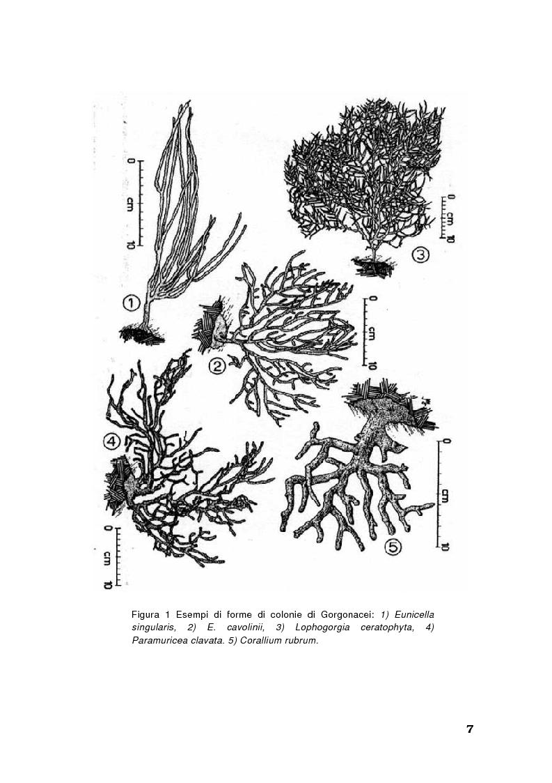 Anteprima della tesi: Biologia di alcuni Gorgonacei mediterranei in differenti condizioni sperimentali, Pagina 6