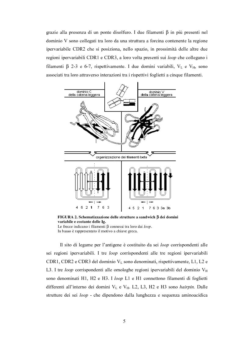Anteprima della tesi: Confronto strutturale e funzionale di anticorpi ingegnerizzati scFvαHER-2, Pagina 7