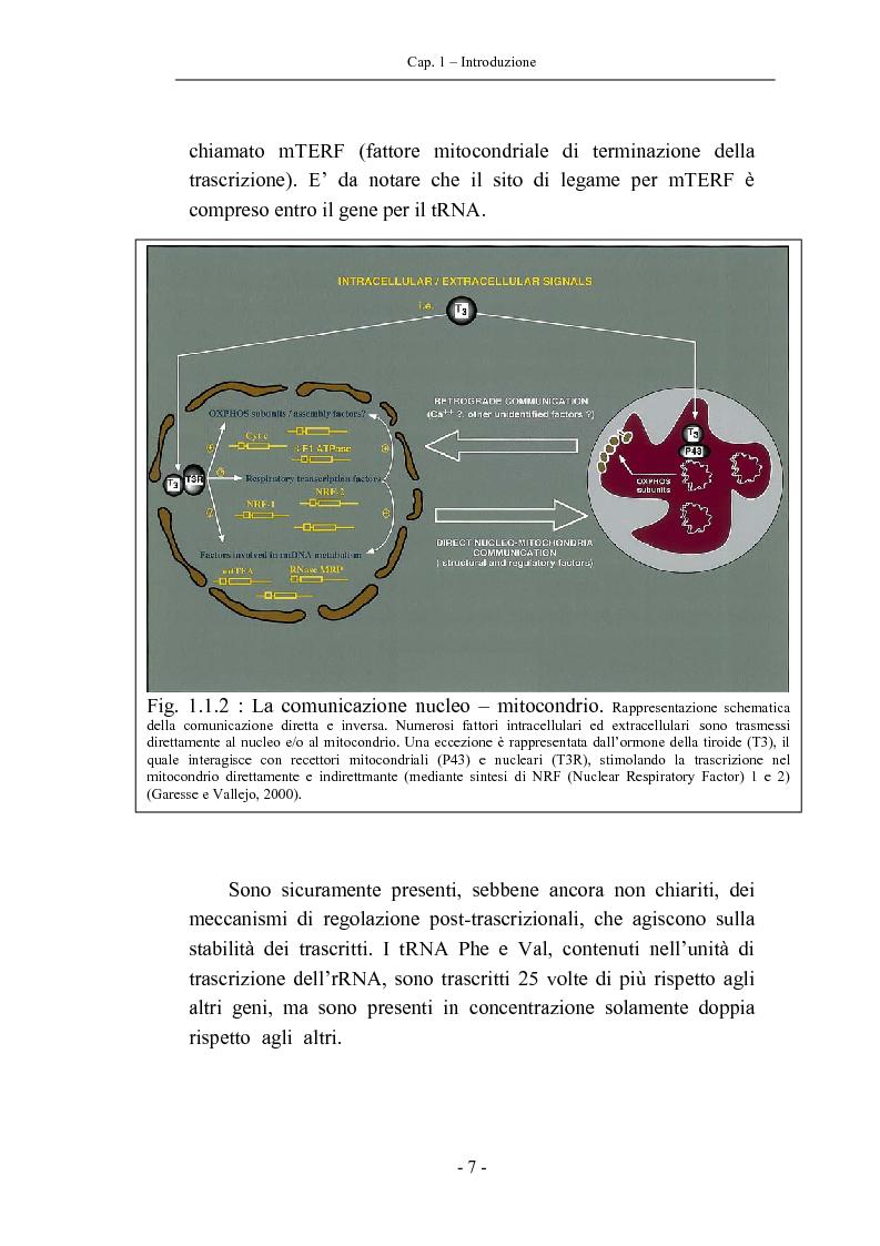 Anteprima della tesi: Trascrizione del DNA mitocondriale nell'invecchiamento, Pagina 11