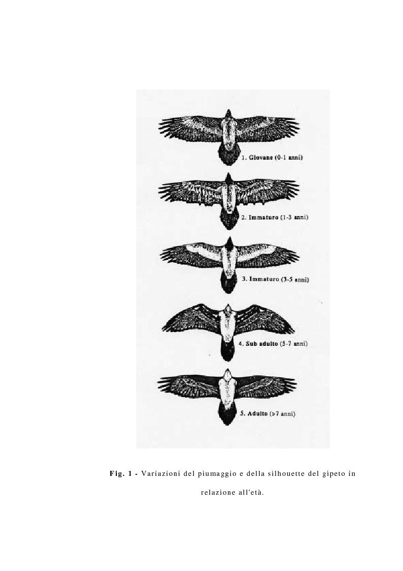 Anteprima della tesi: La reintroduzione del gipeto (Gypaetus Barbatus) sulle Alpi. Analisi del comportamento al nido e dopo l'involo, Pagina 6