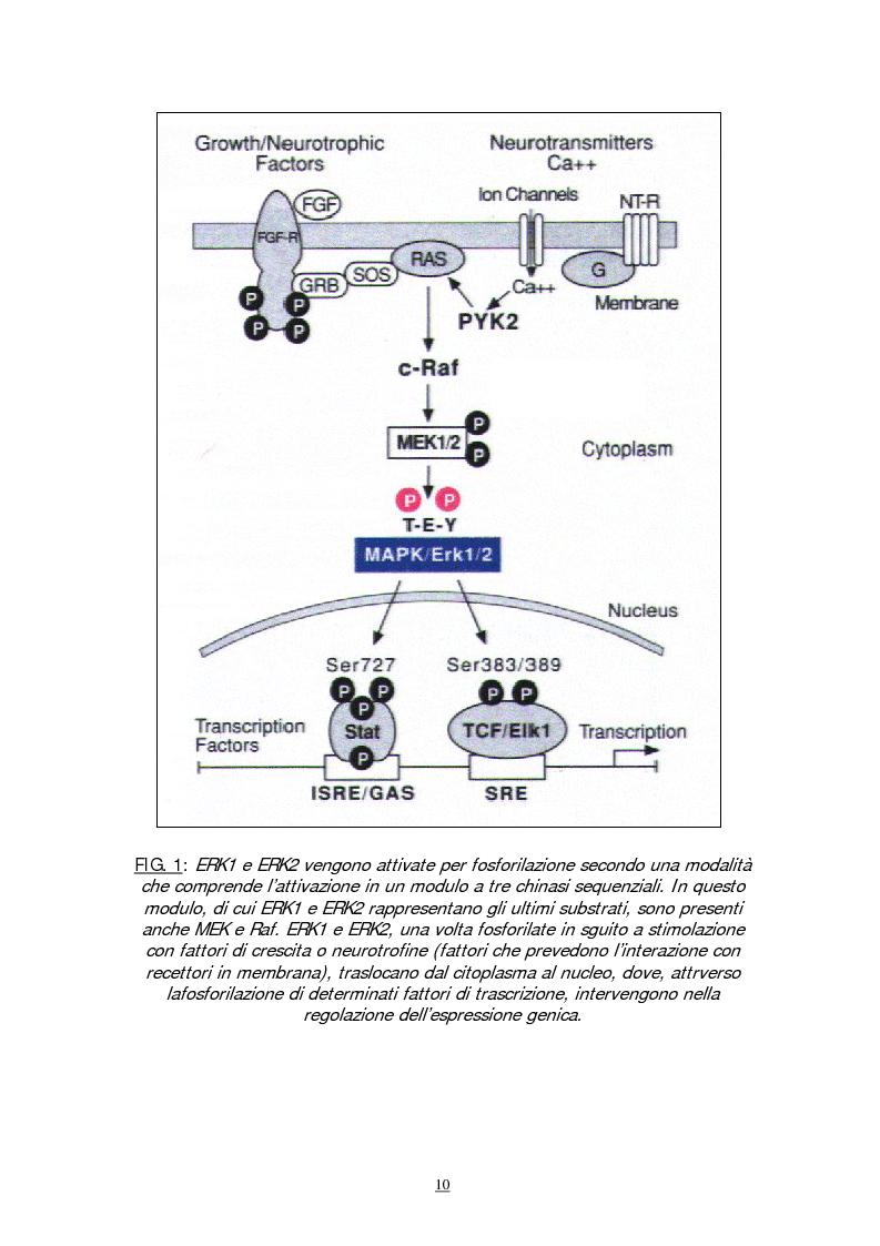 Anteprima della tesi: Meccanismi molecolari coinvolti nel differenziamento neuronale indotto da Acido retinoico nella linea cellulare di neuroblastoma umano SH-SY5Y, Pagina 7